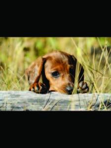 Westlock Vet Puppy