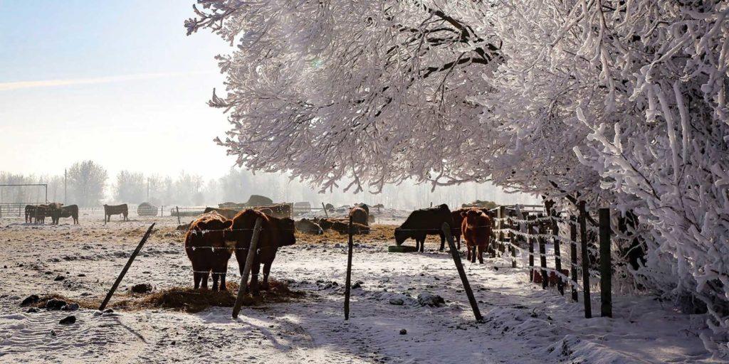 Hoar Frost - Cows
